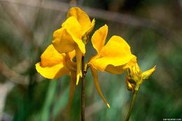 Image of horned bladderwort