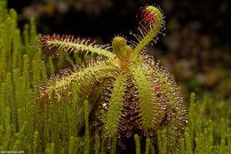 Image of <i>Drosera cistiflora</i> L.