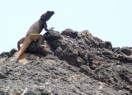 Image of Large-scaled Rock Agama