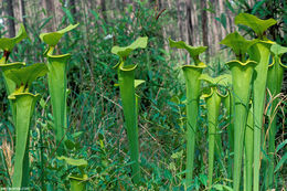Image of Yellow pitcher plant