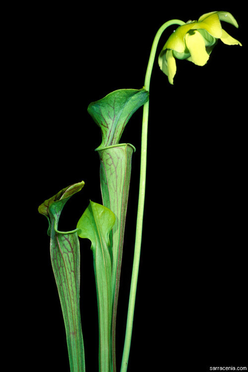 Image of <i>Sarracenia oreophila</i> (Kearney) Wherry