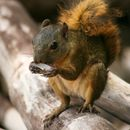 Image of Neotropical Red Squirrel
