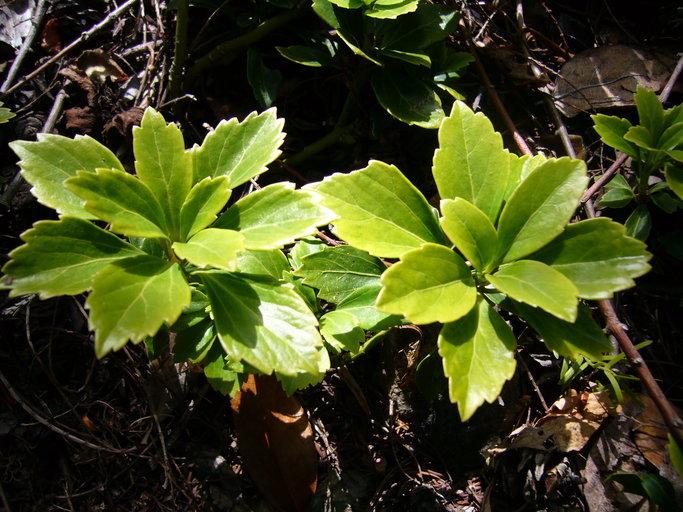 Image of Japanese pachysandra