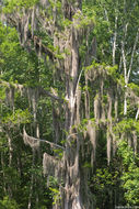 Image of Spanish moss