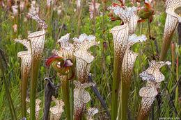 Image of crimson pitcherplant