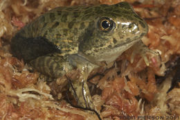 Image of Carolina Gopher Frog