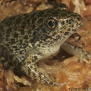 Image of Gopher Frog