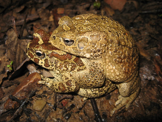 Image of Berber toad