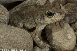 Image of Arabian toad