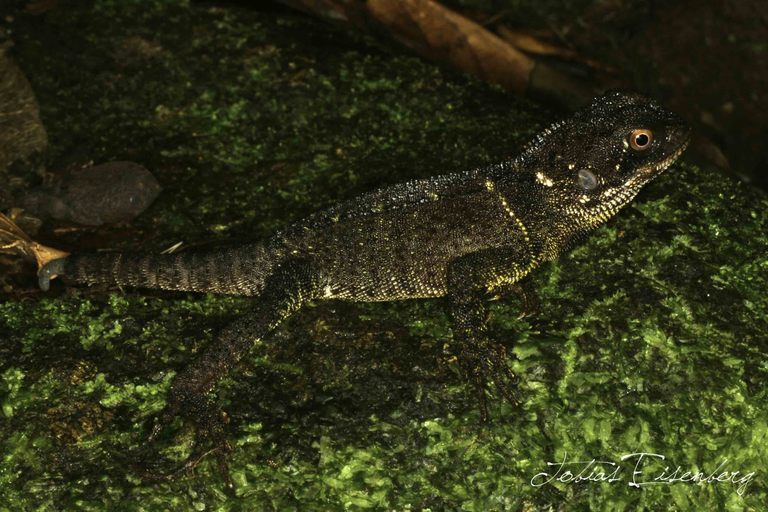 Image of Bocourt's Dwarf Iguana