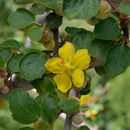Image of California flannelbush