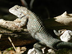 Image of Clark's Spiny Lizard