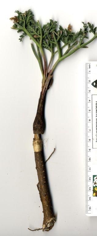 Image of Lassen parsley