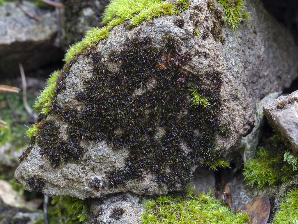 Image of Heinemann's andreaea moss