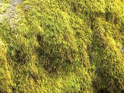 Image of serpentine pseudoleskeella moss