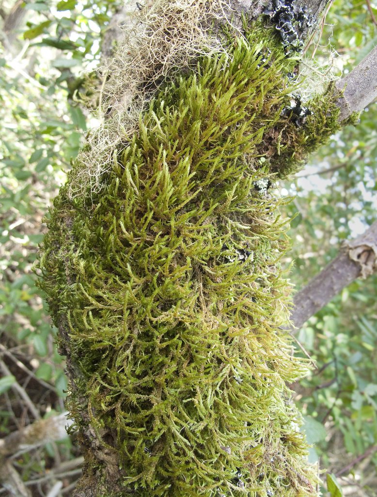 Image of California alsia moss
