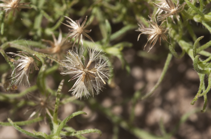 Image of dwarf horseweed