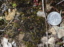Image of Mexican pleuridium moss