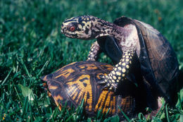 Image of eastern box turtle