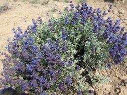 Image of purple sage