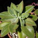 Image of <i>Echeveria coccinea</i> (Cav.) DC.