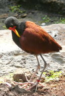 Image of Wattled Jacana
