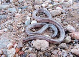 Image of Western Blind Snake