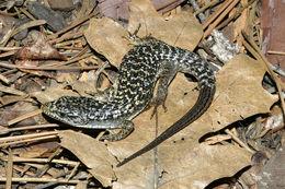 Image of Northern Alligator Lizard