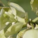 Image of plains yucca