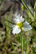 Image of California damsonium
