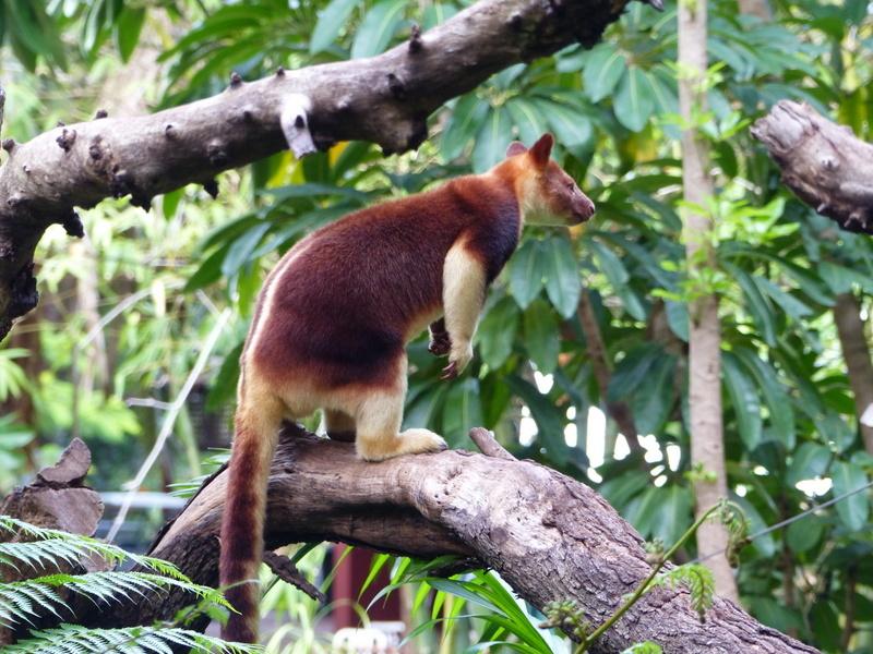 Image of Goodfellow's Tree-kangaroo