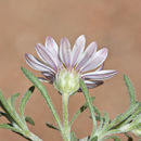 Image of annual Townsend daisy