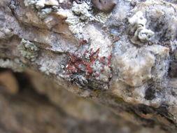 Image of sandwort orange lichen