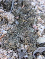 Image of dot lichen