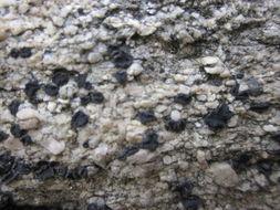 Image of <i>Lecidea laboriosa</i> Müll. Arg.