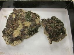 Image of <i>Placidium andicola</i> (Breuss) Breuss