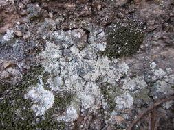 Image of <i>Lepraria vouauxii</i> (Hue) R. C. Harris