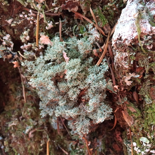 Image of ball lichen