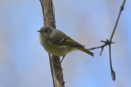 Image of Ruby-crowned kinglet