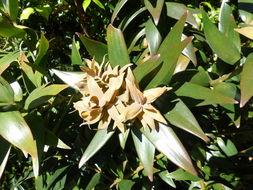 Image of Queensland Kauri Pine