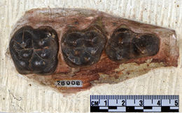 Image of <i>Archaeotherium mortoni</i> Leidy