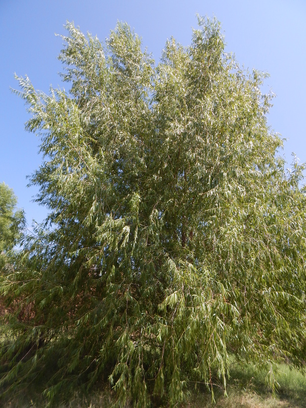 Image of Goodding's willow