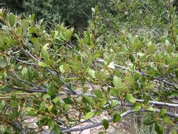 Image of birchleaf mountain mahogany