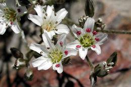 Image of King's rosy sandwort