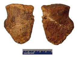 Image of hadrosaurid