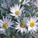 Image of hoary Townsend daisy