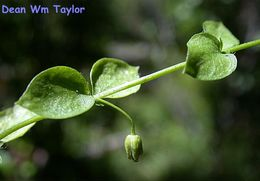 Image of Rocky Mountain chickweed