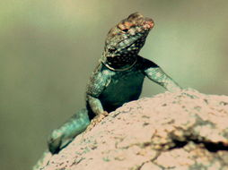 Image of Banded Rock Lizard