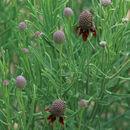 Image of green prairie coneflower