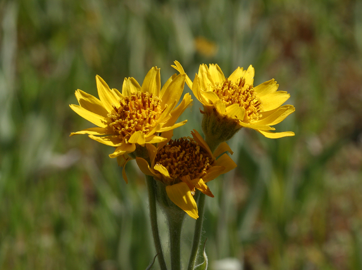 Image of Parry's arnica